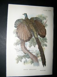 Allen 1890's Antique Bird Print. Argus Pheasant